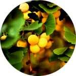 Фитоэкстракт гинкго билоба содержится в препарате Визиум