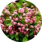 Эпимедиум - один из компонентов препарат Ярсагумба для потенции