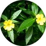 Одним из компонентов капсул Биг Мачо для потенции является экстракт листьев Дамианы