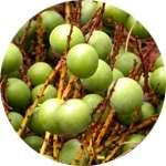 В состав Биг Мачо входит экстракт плодов со пальметто