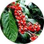 Экстракт семян гуараны содержится в составе капсул Биг Мачо