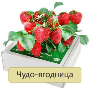 чудо-ягодница сказочный сбор