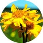 Арника - один из компонентов средства Стомастик Дента для полости рта