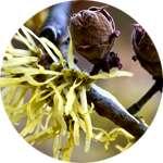 Гамамелис содержится в составе средства Стомастик Дента