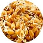 В состав Стомастика Дента входит масло зародышей пшеницы