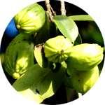 Экстракт гарцинии - один из компонентов спрея ФитоСпрей для похудения