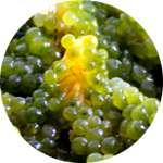 В состав Офтальмакса входит морской виноград
