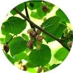 Листья тутового дерева входят в состав Дианормила