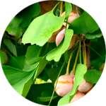 Экстракт гинкго билоба входит в состав Рекардио