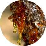 Кора и смола лиственницы - один из компонентов препарата Рекардио от гипертонии