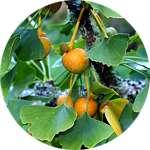Гинкго билоба содержится в каплях Алконоль