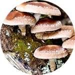 Одним из компонентов капель Алконоль от алкоголизма являются грибы шиитаке