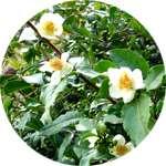 В состав PapillOFF входит эфирный экстракт чайного дерева
