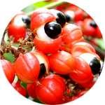 Экстракт гуараны содержится в Оксислиме для похудения