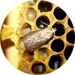 Пчелиная огневка содержится в средстве Фритаб