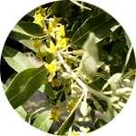 Цветки узколистного лоха содержатся в капсулах Кардиовелл