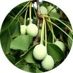 Вытяжка из листьев гинкго билоба входит в состав Varikosette
